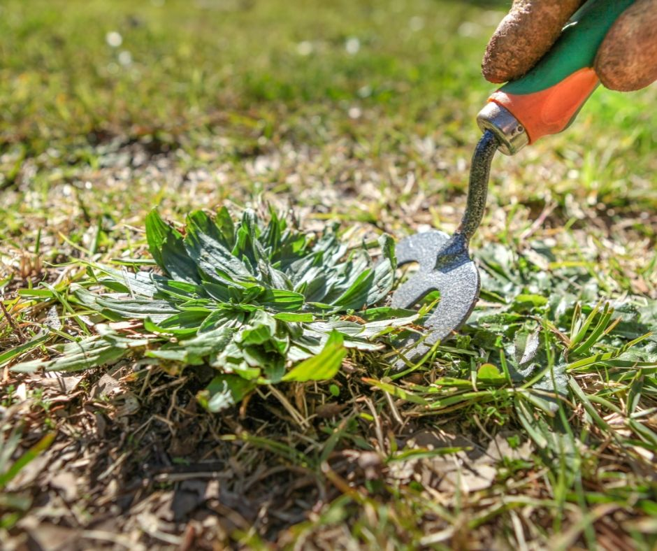 Weed removal from lawn in Frankston